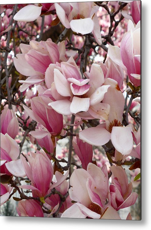 Pink Metal Print featuring the photograph Pink Magnolia Blossom by Richard Stout