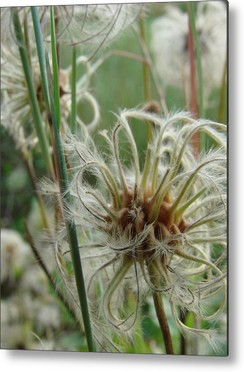 Garden Metal Print featuring the photograph Clematis Seed by Pat Lopez