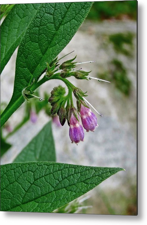 Comfrey Metal Print featuring the photograph Comfrey by MTBobbins Photography