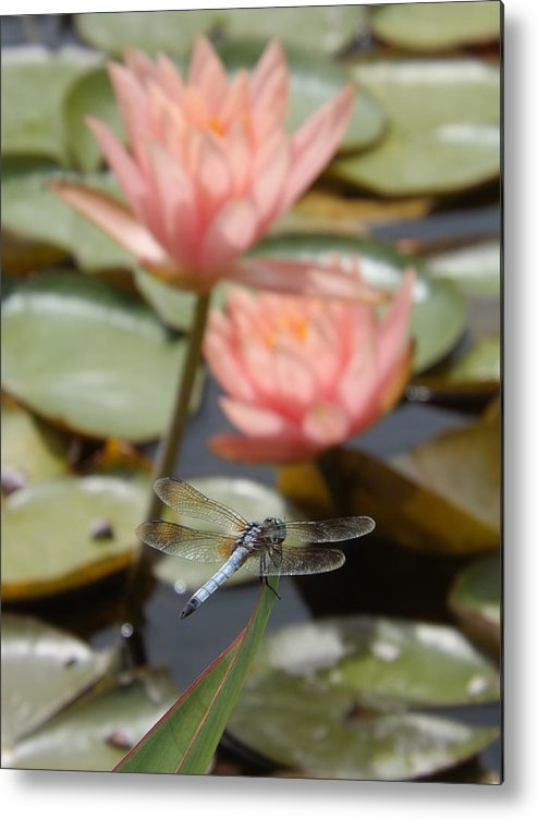 Pink Metal Print featuring the photograph Delicate Observer by Caryl J Bohn