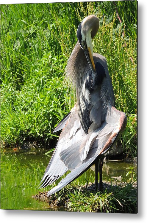 Great Blue Heron Metal Print featuring the photograph Great Blue Heron Yoga by Lucy Howard