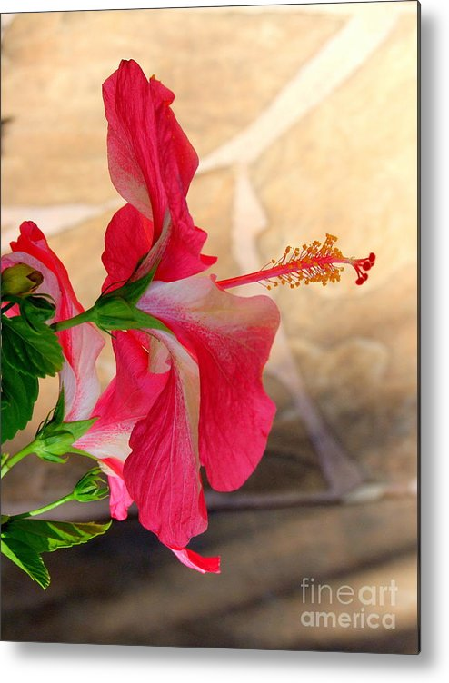 Flower Metal Print featuring the photograph Hibiscus Along The Walk Way by Mary Deal