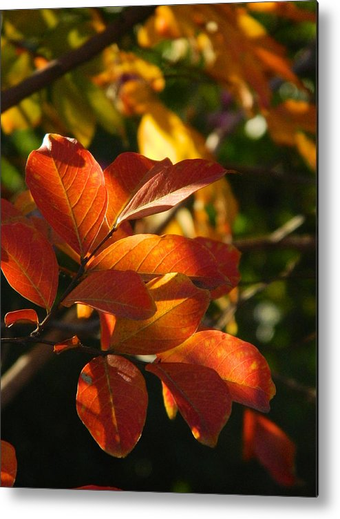 Menlo Park Metal Print featuring the photograph In A Golden Light 002 by Michael J Genevro