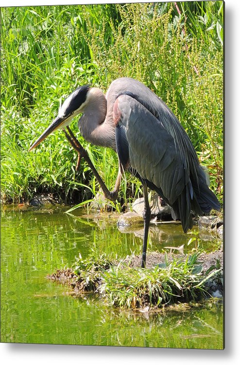 Great Blue Heron Metal Print featuring the photograph Itch To Scratch by Lucy Howard