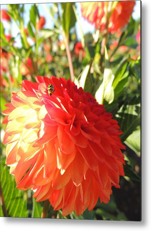 Nature Metal Print featuring the photograph Lady Bug In The Dalias by Lucy Howard
