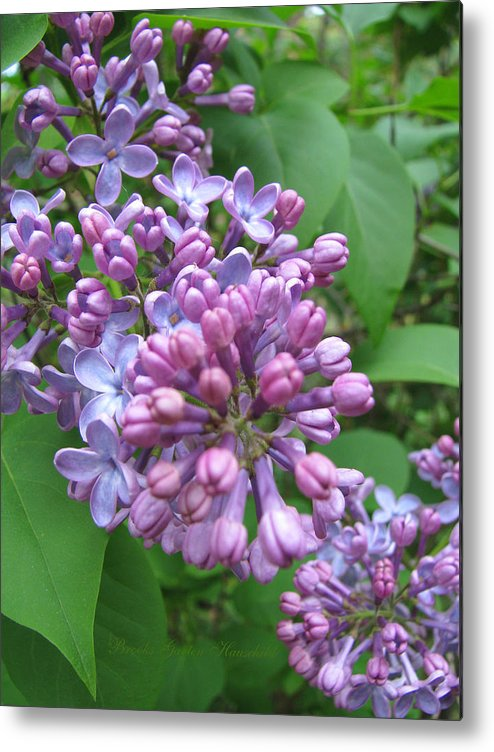 Lilacs Metal Print featuring the photograph Lilac Buds And Blossoms by Brooks Garten Hauschild