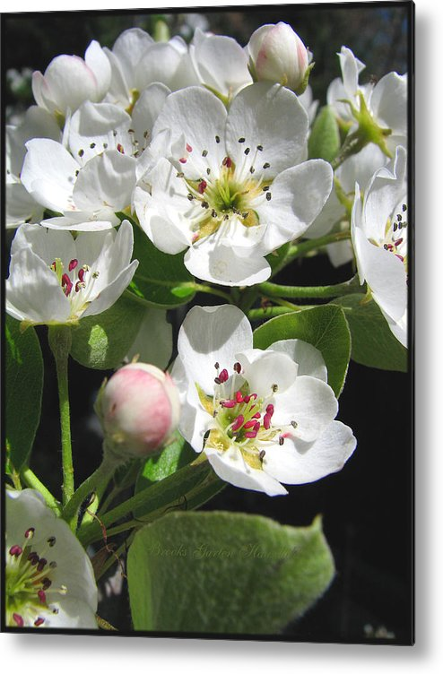 Pear Blossoms Metal Print featuring the photograph Pear Blossom Special by Brooks Garten Hauschild