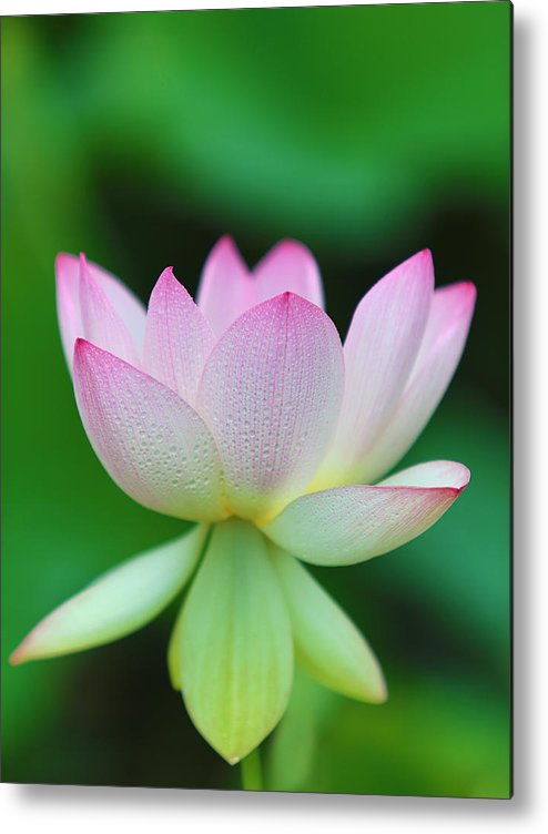 Pink Metal Print featuring the photograph Pink And White Lotus Flower by Jack Nevitt