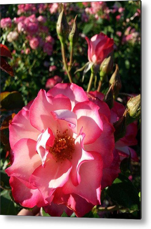 Pink Metal Print featuring the photograph Pink Flaminco Rose 2 by Caryl J Bohn