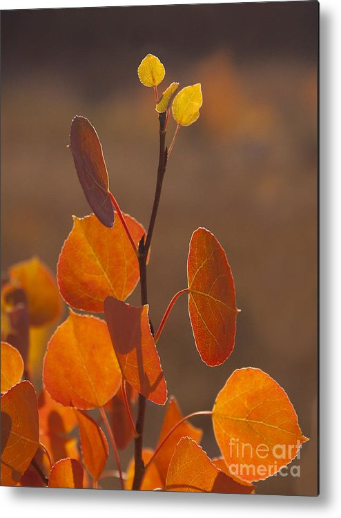 Tree Metal Print featuring the photograph Quaking Aspen In Color  #3749 by J L Woody Wooden