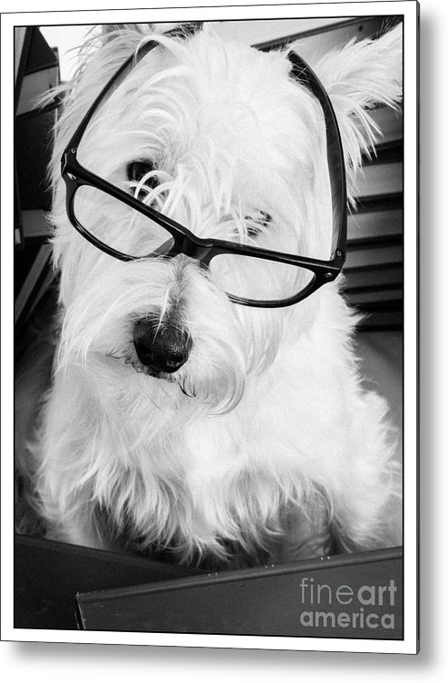 Dog Metal Print featuring the photograph Really Portait Of A Westie Wearing Glasses by Edward Fielding