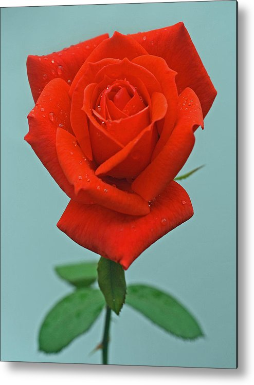 Red Rosebud Metal Print featuring the photograph Rosebud by Joan Powell