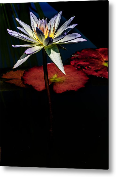 Flowers Metal Print featuring the photograph Sacred Water Lilies by Louis Dallara