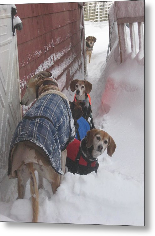 Beagles Metal Print featuring the photograph Snow Angels by Leslie Manley