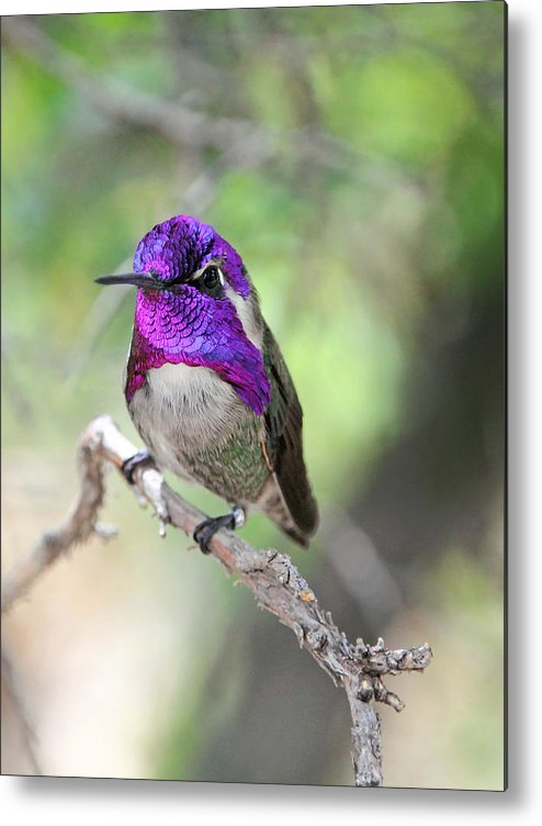 Costa's Hummingbird Metal Print featuring the photograph Some Like It Hot by Theo OConnor