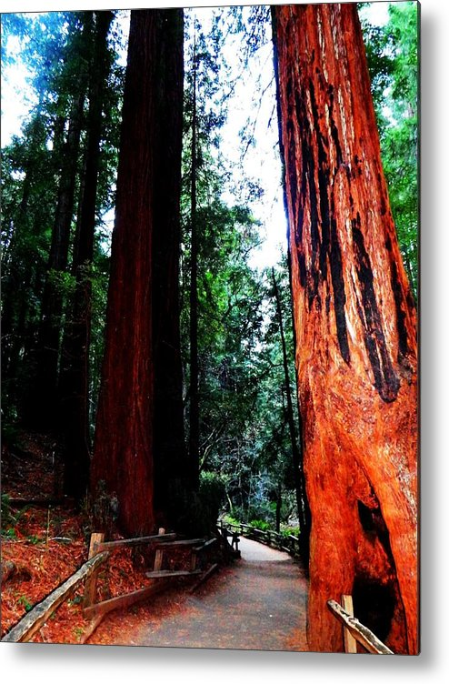Muir Woods National Monument Metal Print featuring the photograph Stately by Cathleen Cario-Reece