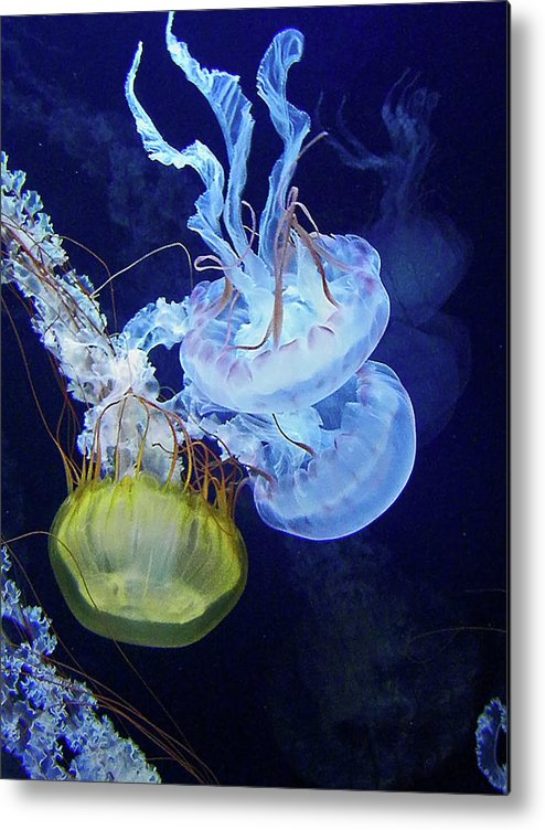 Jellyfish Metal Print featuring the photograph Taking The Plunge by Elizabeth Hoskinson