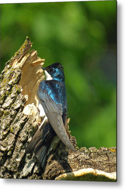 Vertical Metal Print featuring the photograph Tree Swallow by James Peterson