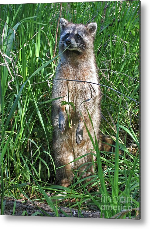 Raccoon Metal Print featuring the photograph Wary by Ann Horn