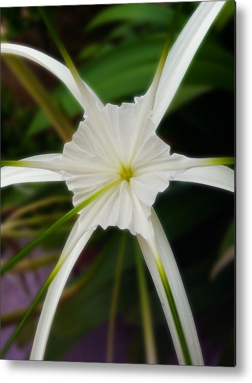 White flower spider metal print by ym chin white spider lily metal print featuring the photograph white flower spider by ym chin mightylinksfo