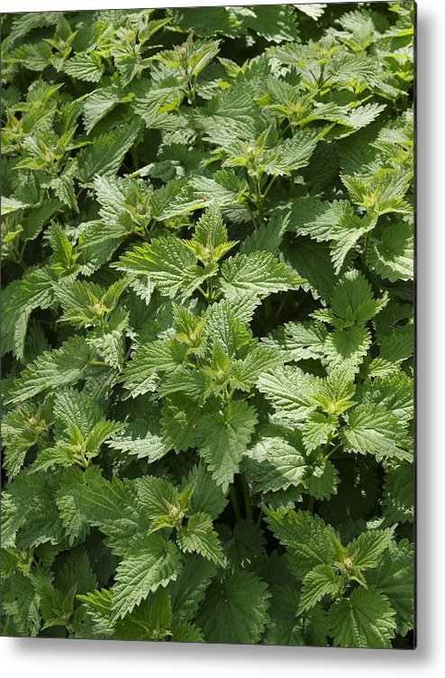 Stinging Nettles Metal Print featuring the photograph Stinging Nettle (urtica Dioica) by Adrian Bicker
