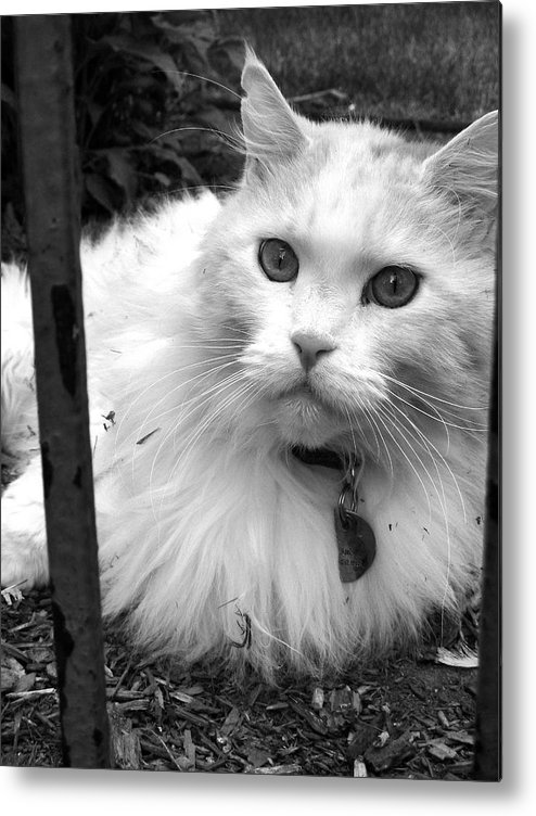 Cat Metal Print featuring the photograph Cat Eyes by Dan Stone