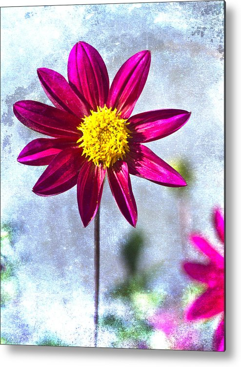 Flower Metal Print featuring the photograph Dark Pink Dahlia On Blue by Carol Leigh