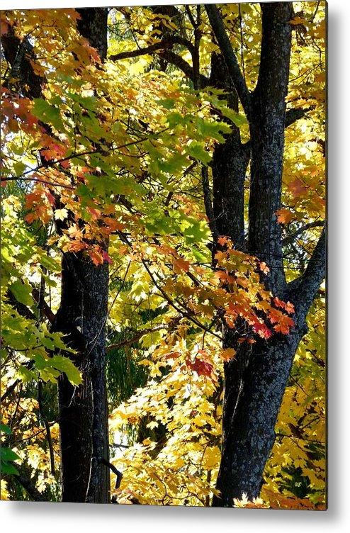 Dazzling Days Metal Print featuring the photograph Dazzling Days Of Autumn by Will Borden