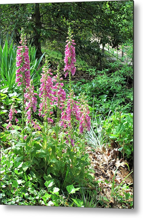 Foxglove Metal Print featuring the photograph Foxgloves In My Garden by Sandy McIntire