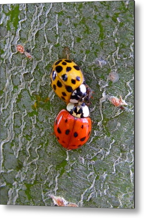 Insects Metal Print featuring the photograph Ladybug Love by Judy Wanamaker