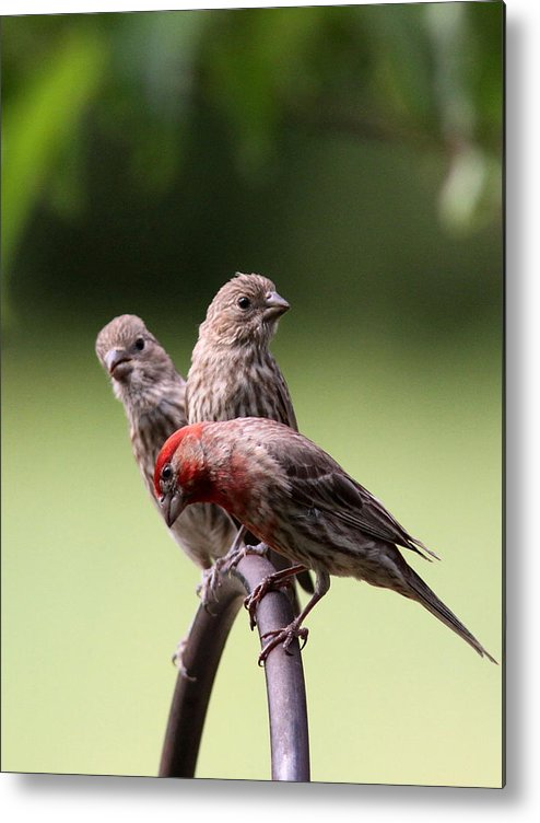 House Finch Metal Print featuring the photograph Two Offspring by Travis Truelove