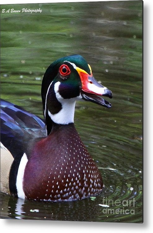 Wood Duck Metal Print featuring the photograph Wood Duck Portrait by Barbara Bowen