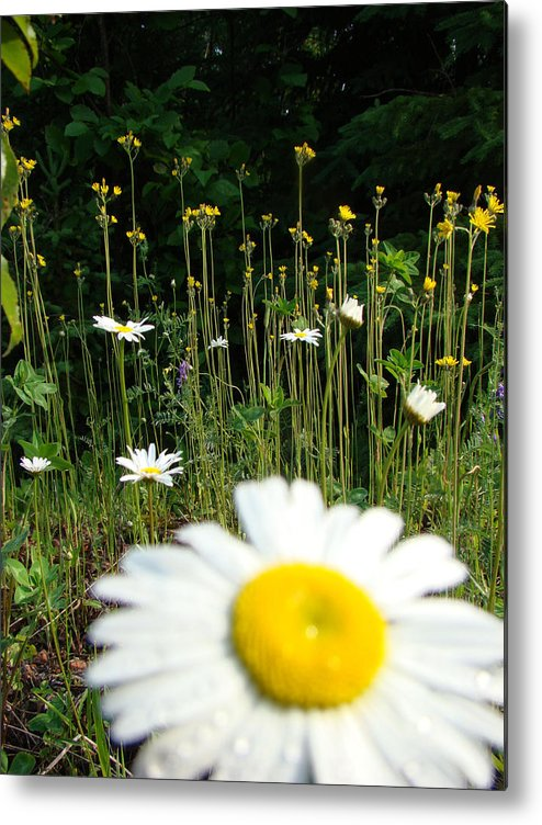 Daisy Metal Print featuring the photograph Oh Ditch Weeds by Tingy Wende