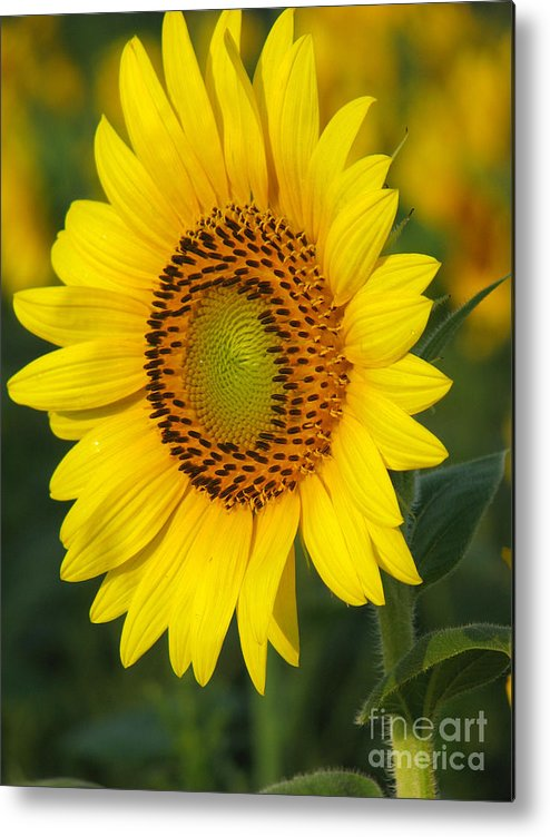 Sunflowers Metal Print featuring the photograph Sunflower by Amanda Barcon