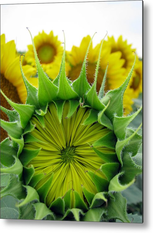 Sunflwoers Metal Print featuring the photograph Sunflower Series by Amanda Barcon