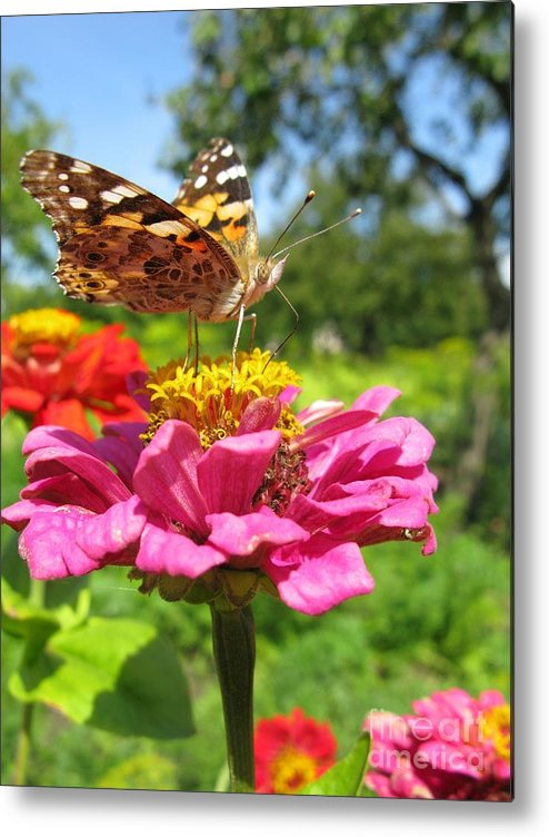 Butterfly Metal Print featuring the photograph A Butterfly On The Pink Zinnia by Ausra Huntington nee Paulauskaite