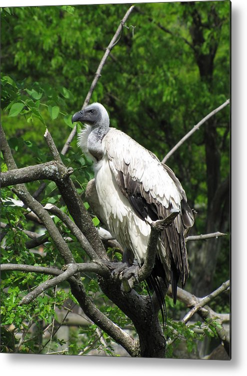 Vulture Metal Print featuring the photograph African Vulture by George Jones