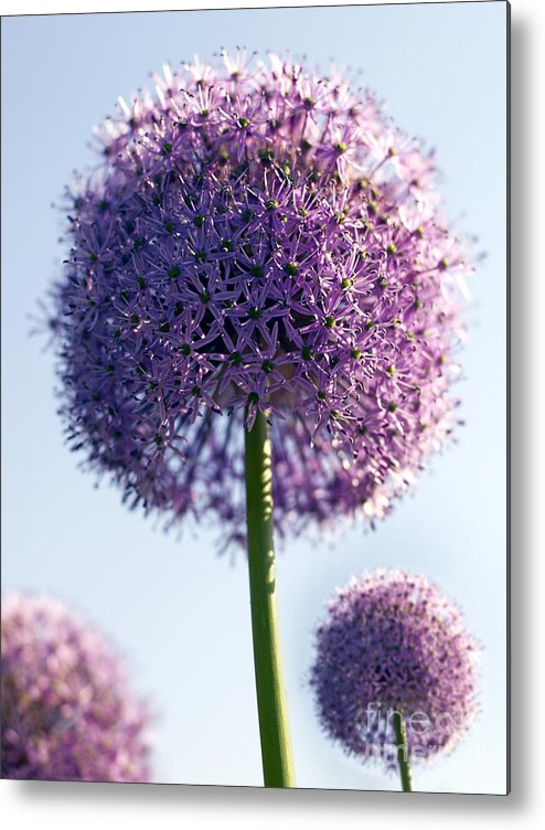 Allium Metal Print featuring the photograph Allium Flower by Tony Cordoza