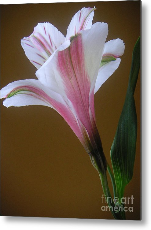 Nature Metal Print featuring the photograph Alstroemeria - Reaching by Lucyna A M Green