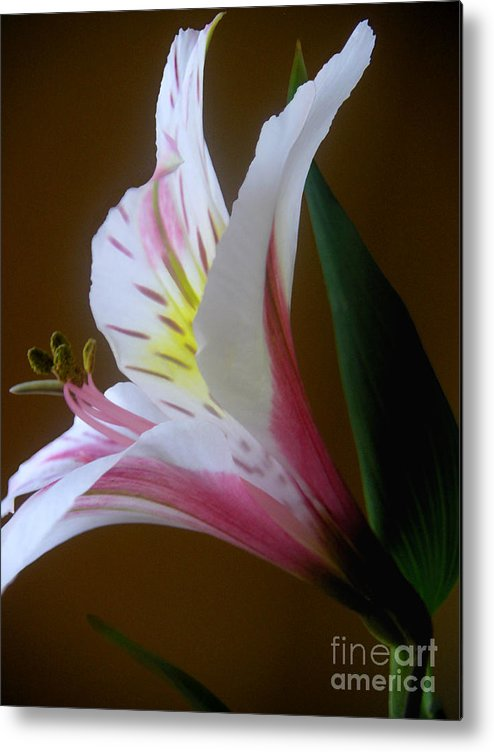 Nature Metal Print featuring the photograph Alstroemeria - Responding by Lucyna A M Green