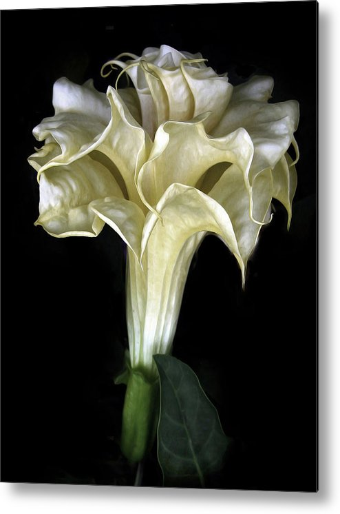 Flower Metal Print featuring the photograph Angel Trumpet by Jessica Jenney