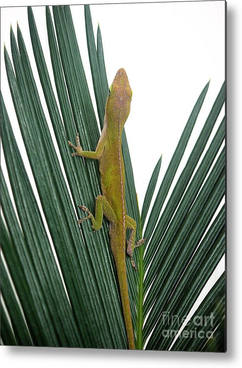 Nature Metal Print featuring the photograph Anole With Palm - Curious by Lucyna A M Green