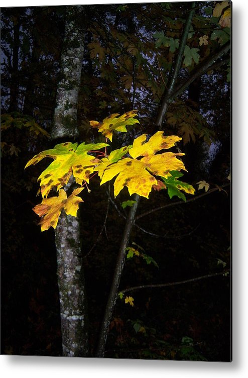 Autumn Metal Print featuring the photograph Autumn Yellow by Ken Day