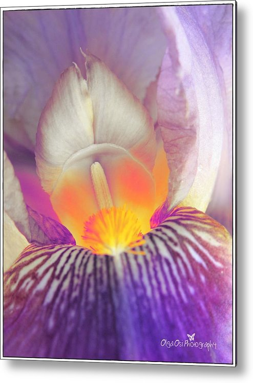 Iris Metal Print featuring the photograph Blushing Beauty by Olga Osi
