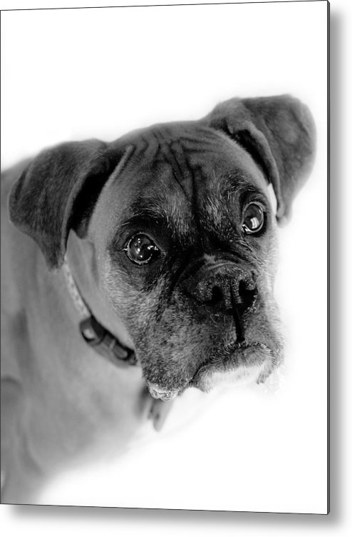 Boxer Metal Print featuring the photograph Boxer Dog by Marilyn Hunt