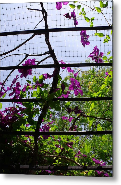 Purple Metal Print featuring the photograph Clematis I by Anna Villarreal Garbis