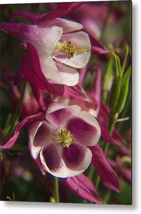 Flower Metal Print featuring the photograph Columbine 2 by Dave Chafin