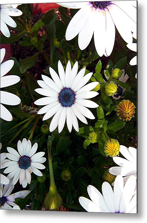 Daisy Metal Print featuring the photograph Daisy Forms by Caroline Urbania Naeem