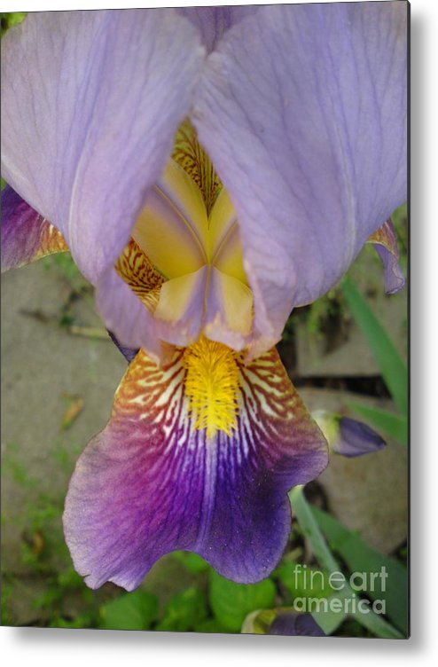 Iris Metal Print featuring the photograph Dazzle Me by DebiJeen Pencils
