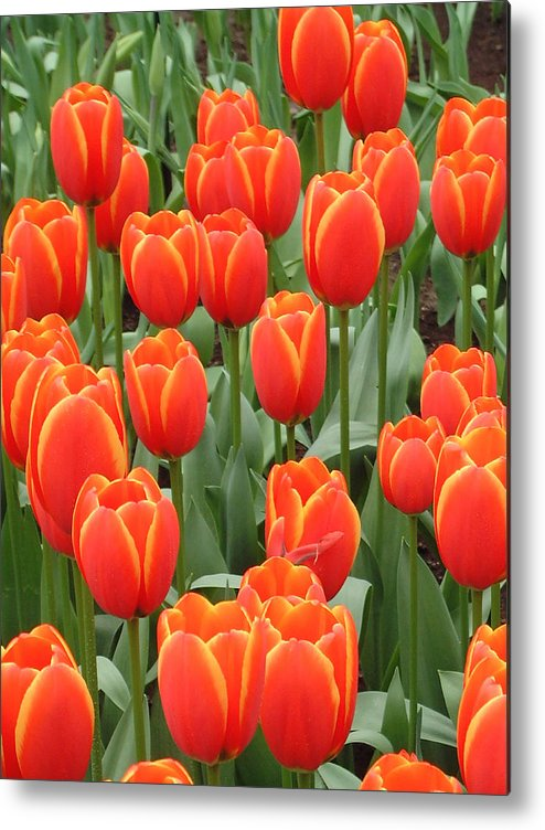 Netherlands Metal Print featuring the photograph Dutch Tulips by Charles Ridgway